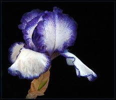 BLUE 'n WHITE IRIS by THOM-B-FOTO