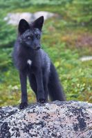 Young Wild Fox on the Rocks by Witch-Dr-Tim