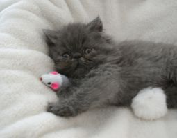 persian cat2 by burcu