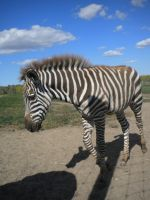 Zebra Foal 2 by EquideDesigns