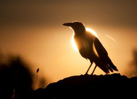 Magpie Sunset 2 by WiseWanderer