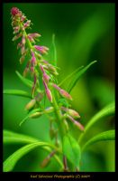 Fireweed by KSPhotographic
