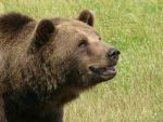 Grizzly bear by nakaiii