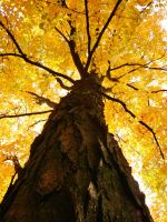 Looking Up At Autumn I by 12slauth