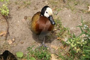 Duck by Hetti-Photograph
