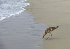 Long-billed Curlew by Evevilly