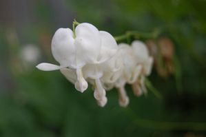 White bleeding heart by Pinkwolf90
