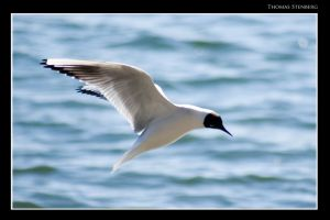 Seagull by tomba76