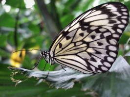 butterfly by muisie