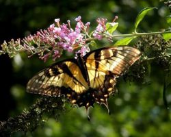 Eastern Tiger Swallowtail by crystalbreath81