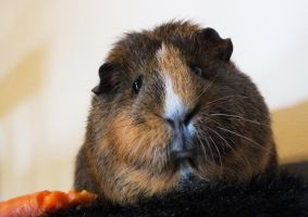 OPI the guinea pig by DeathBirdModel