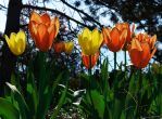 Tulips by Edwige-Lch