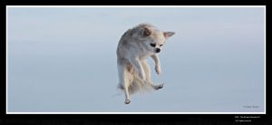 The flying Chihuahua lll by vodoc