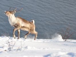 Reindeer 04 by nordfold