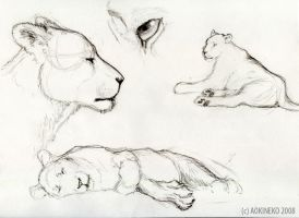 Lioness study by AokiBengal