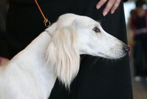 Saluki 2 by Juicefine