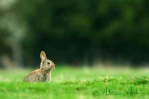 Young wild rabbit by Fresnay