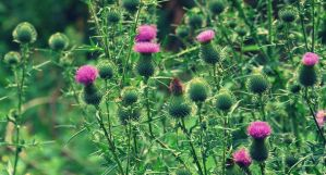 Thistles by black-ladybird