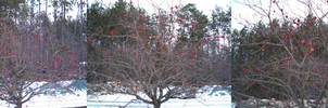Bald red apple tree by Ripplin