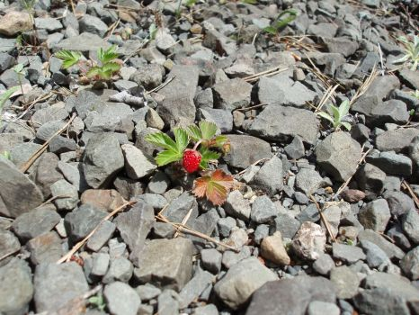 the brave lonley strawberry (never give up) by karotte71