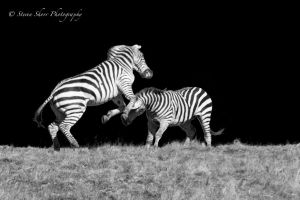 The Hurst Zebras 1 by Mac-Wiz