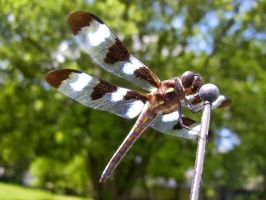 Twelve-spotted Skimmer by Anachronist84