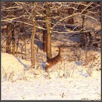 Roebuck in the Wintersun by Clu-art