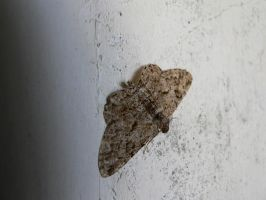 Moth by Aslehill12