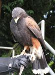 Harris Hawk Stock by TalkStock