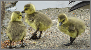 Baby geese by Mogrianne