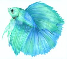 Betta Splenden II by Atomdesigns