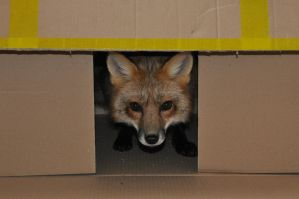 Fox in the box by Najlvin