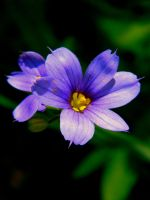 Blue-Eyed Grass by SlateGray
