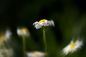 Wilting Daisy by pubculture