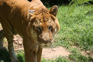 The Liger by SafarisSanctuary