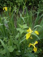 Yellow flag iris by Finsternis-stock