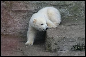 Baby polar bears again I by AF--Photography