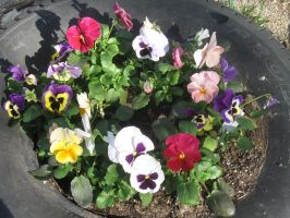 21519 tire full of Pansies by crazygardener