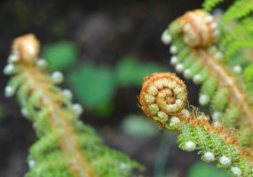 curled fern by GraceDoragon