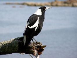 Australian Magpie by SirTimid
