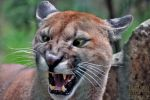 angry Puma by brijome