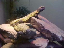 Agamas by imerald