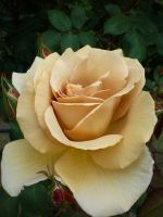 Camel Colored Rose by freyiathelove