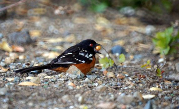 Spotted Towhee by Randy-Robin