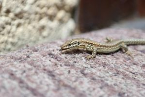 Lezard by NicolasDuchene
