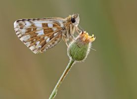 White skipper by buleria