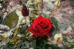 My Roses Collection by Holi--Day