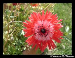 Red Flower by mgfletcher