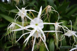 Carribbean Spider Lily by Charmed-Ravenclaw