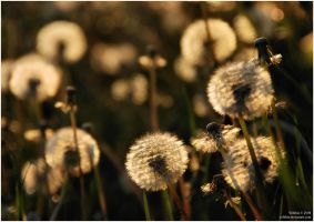 dandelions by Wilithin